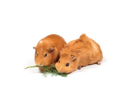 Due porcellini d'India mangia aneto (erba). Isolato su sfondo bianco.