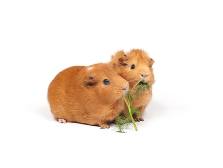 gnaw: Two guinea pigs eats dill (grass). Isolated on white background. Stock Photo