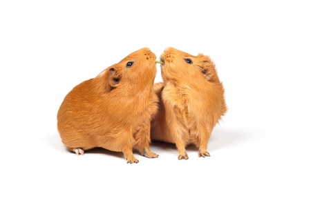 Two guinea pigs eat dill (grass).  It looks as if they were about to kiss each other. Isolated on white background. Stock Photo - 10906173