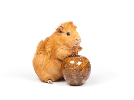 mope: Guinea pig and marble apple