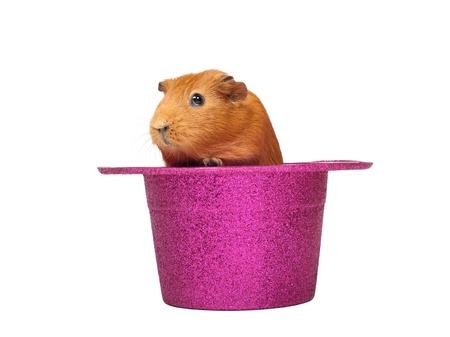 Cavia seduto in cappello rosa Archivio Fotografico - 10906174