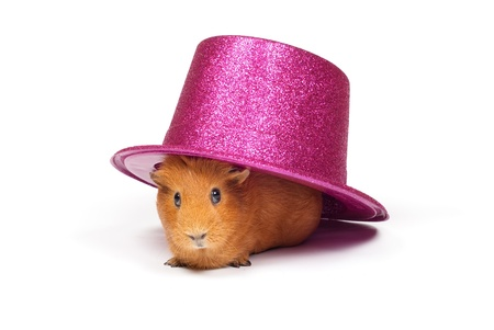 pink hat: Guinea pig sitting under pink hat Stock Photo