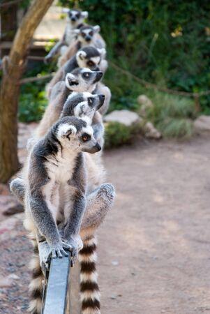 Un gruppo di lemuri catta (Lemur catta) seduti insieme su una ringhiera allo Zoo di Praga e guardando alle diverse direzioni. Archivio Fotografico