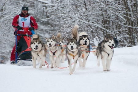 mushing: Dog sled cup in Russia. Musher and team of Alaskan Malamutes. February 6, 2011