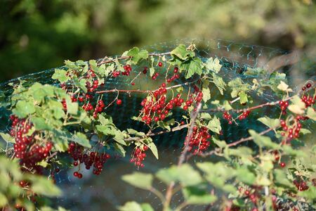 Redcurrant in the garden. Stock Photo