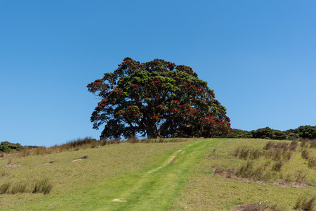 A tree on the hill - New Zealand Christmas tree (Pohutukawa) on a hill Bay of Islands.