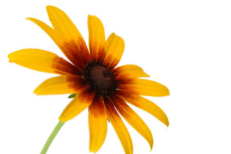 Yellow coneflower with white background Stock Photo - 1140293