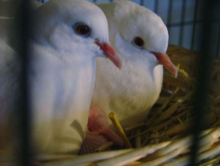 Two white peace doves in nest with  Standard-Bild