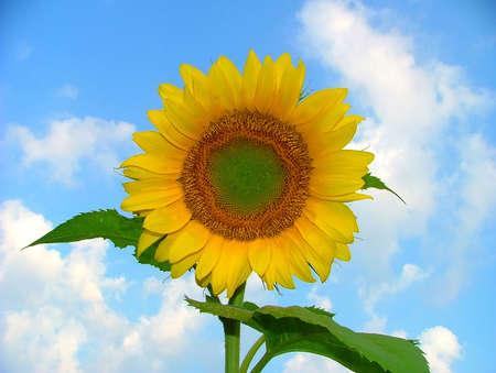 Sunflower (Genus Helianthus) against a blue sky background