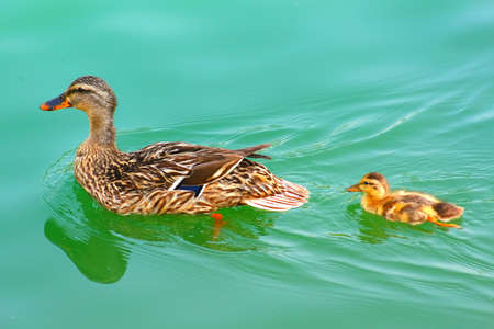 Duck swimming in a with  duckling