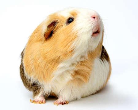 świnka morska: Guinea Pig brązowe i białe