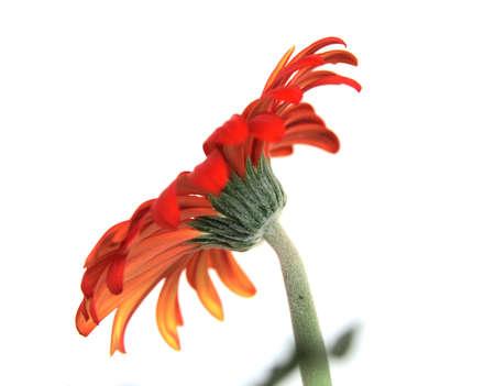 Red Gerber Daisy side shot