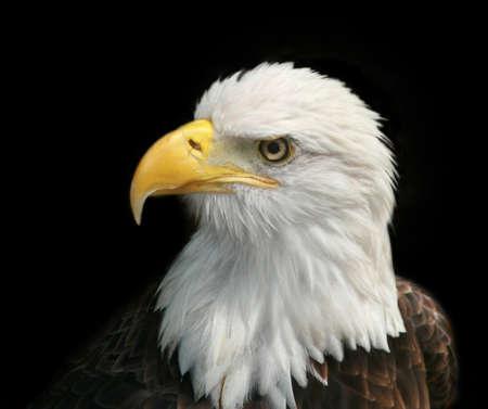 Portrait of a Bald Eagle against black background