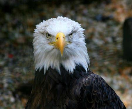 Straight on portrait of an American Bald Eagle Standard-Bild