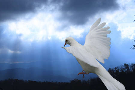 descending: White dove descending against blue sky with sun rays coming through clouds. Stock Photo