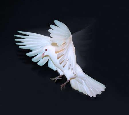 White Dove landing against black background. Stock Photo
