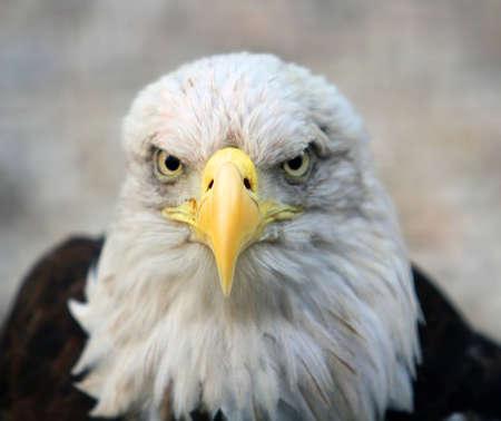 bald eagle: �guila calva