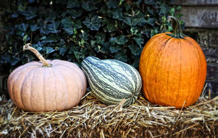 Fall pumpkins and squash against english ivy setting on a bail of straw