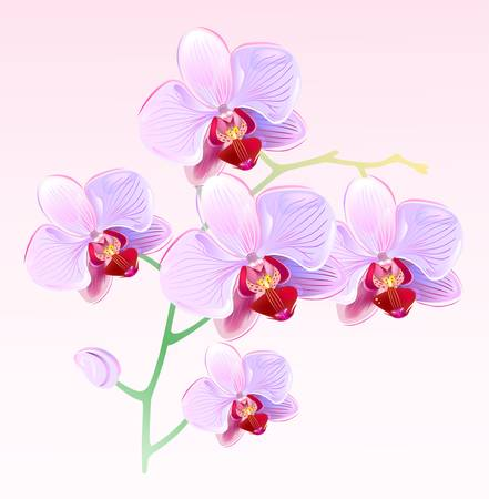 pink orchid: Orchids  Illustration