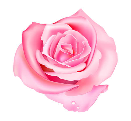Vector illustration of pink rose isolated on white background Stock Vector - 11357495