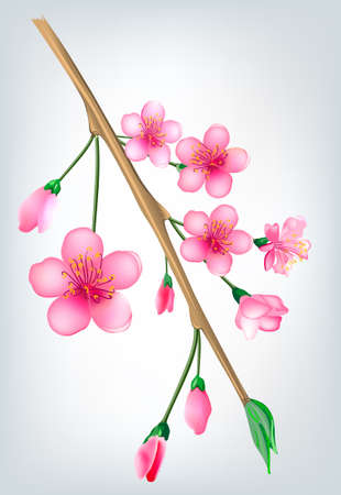 Vector illustration of a flowered sakura, japanese cherry tree  Vector