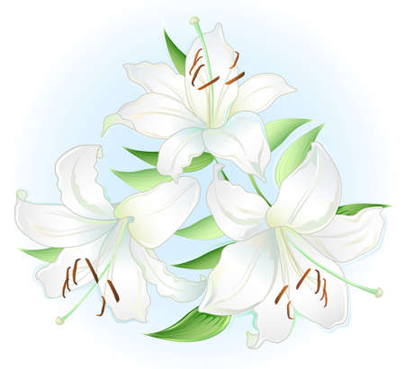 white lilly: white lilly