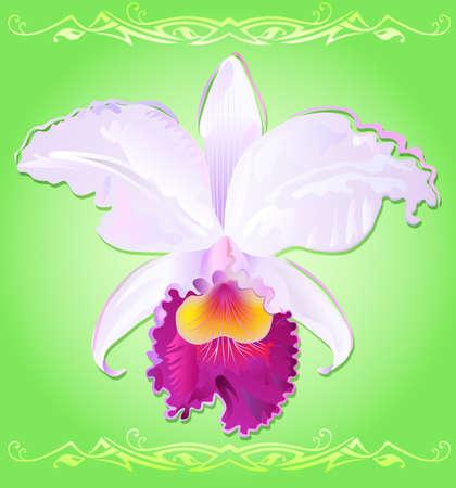 cattleya: orchid cattleya trianae Illustration