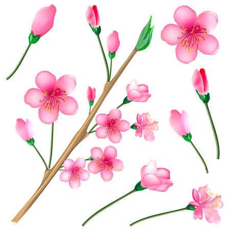 flowered: Vector illustration of a flowered sakura set, japanese cherry tree Illustration