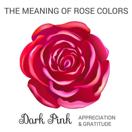 Attar: Dark pink rose infographics, vector illustration isolated on white background