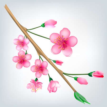 flowered: Vector illustration of a flowered sakura, japanese cherry tree