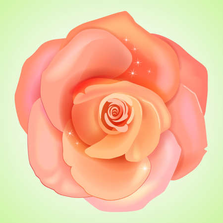 mass flowering: Peach pink rose isolated on light background, vector illustration Illustration