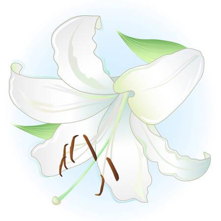 lirio blanco: lirio blanco sobre fondo azul claro Vectores
