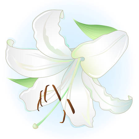 white lily: White lily on light blue background