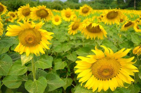 image field of sunflowers on a blue sky background photo