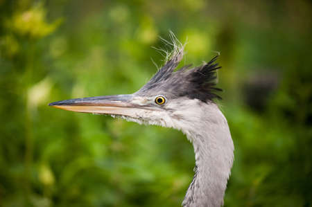 Young orphaned Ardea cinerea The grey heron head portrait with funny hair. One lonely grey heron child zoomed. Bird is tourist attraction in Kadzidlowo Wild Animals Park in Poland. Ruciane Nida district, summertime. Polish Kadzidlowo Park Dzikich Zwierzat LANG_EVOIMAGES