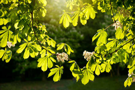 Flowering Aesculus horse chestnut foliage vibrant green colors in sunlight, plant known as buckeye, early spring season, bright leaves and white flowers in sunny day, calm nature detail, horizontal orientation, nobody