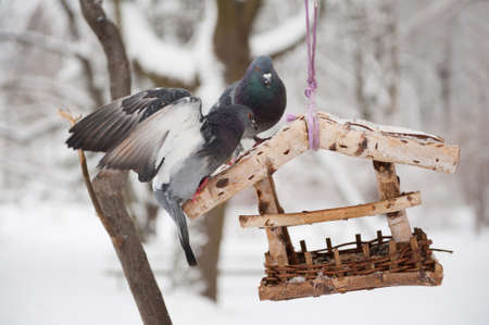 sag: Two hungry pigeons sitting on bird feeder in Poland, trying to get some seeds food in winter season. One of two birds flapping wings and falling down from wooden feeder hanging on tree in Baths Royal Park in Warsaw, Polish Lazienki Krolewskie, Poland, Eur