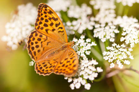 nymphalidae: Argynnis paphia butterfly beauty on white flowers, insect taking nectar from flowering plant, nature detail in horizontal orientation, nobody. Polish name Dostojka malinowiec or perlowiec malinowiec.