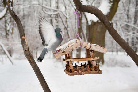 sag: One hungry wild pigeon sitting on bird feeder trying to get some seeds food in winter season. Bird flapping wings and falling down from wooden feeder hanging on tree in Royal Baths Park in Warsaw, Polish Lazienki Krolewskie, Poland, Europe. Horizontal ori LANG_EVOIMAGES