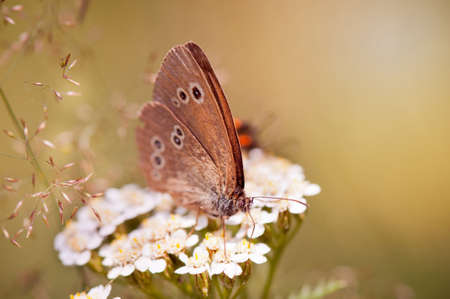 hyperantus: Aphantopus hyperantus or Ringlet brown butterfly sitting and taking nectar on Achillea cluster of flowers. Wing upper and lower sides are solid brown with small, yellowish-rimmed eye-spots. Photo taken in Poland, Polish Przestrojnik trawnik. Horizontal or LANG_EVOIMAGES