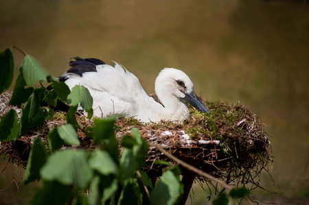 Orphaned White Stork or Ciconia ciconia child sitting in nest. One lonely young stork in small fake nest imitating natural home, twig with fresh leaves around it. Bird is tourist attraction in Kadzidlowo Wild Animals Park in Poland. Ruciane Nida district,