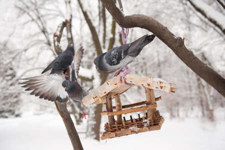 Three hungry pigeons sitting on bird feeder in Poland, trying to get some seeds food in wintertime. One of three birds flapping wings and falling down from wooden feeder hanging on tree in Baths Royal Park in Warsaw, Polish Lazienki Krolewskie, Poland, Eu