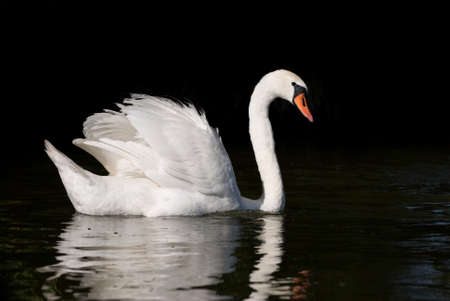 masuria: One Mute Swan Cygnus olor at lake in Ruciane Nida in Masuria lake district. Beautiful waterfowl large bird wholly white in plumage with orange bill bordered with black knob atop the bill. Horizontal orientation, black natural background and reflections on