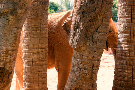 An African elephant hiding among the palm trees in the middle of an African landscape