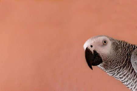Ritratto del primo piano di un pappagallo grigio (Psittacus erithacus) con sfondo rosa. Concetto di sorpresa.