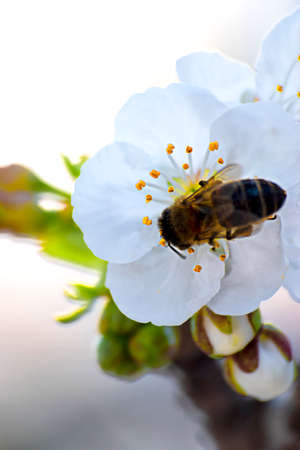 Bee collecting pollen from a cherry tree in bloom. Stock fotó