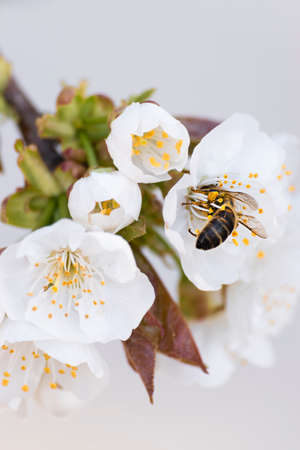 Bee collecting pollen from a cherry tree in bloom. Imagens