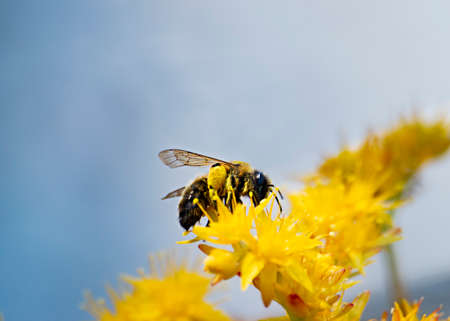 Bees collecting pollen from yellow flowers, in the spring.