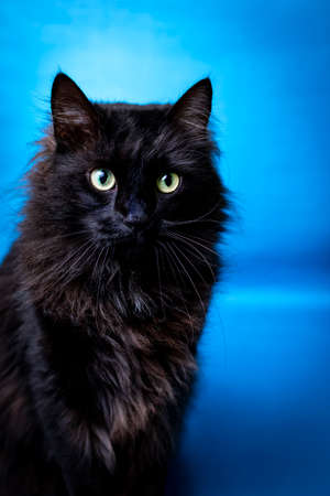 Portrait of a black cat looking to the front with a blue background