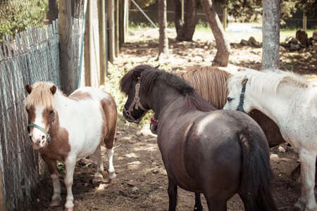 Herd of dwarf horses, called ponies, in a stable on the mountain. Banco de Imagens